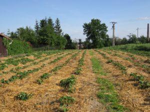 Plantáž jahod