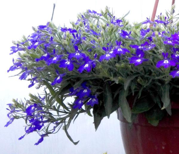 Lobelka / Lobelia převislá v květináči