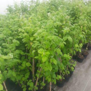 Malina odrůda POKUSA - sazenice
