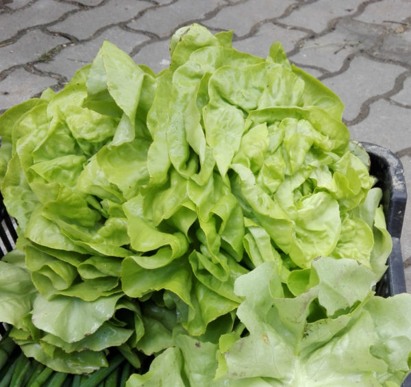 Hlávka salátu